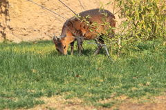 Red-flanked duiker Royalty Free Stock Images