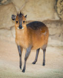 Red-Flanked Duiker Stock Image