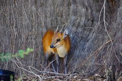 Red-Flanked Duiker Cephalophus rufilatus stock photography