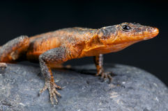 Red Flat Lizard / Platysaurus jansonni Royalty Free Stock Photo
