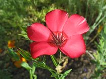 Red flax flower against green grass background Royalty Free Stock Photography