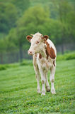 Red-flecked breed calf cow on a green meadow in the early morning Royalty Free Stock Photos