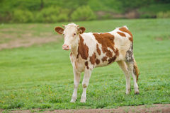 Red-flecked breed calf cow on a green meadow in the early morning Royalty Free Stock Photography