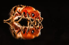 Red flightless bee  on black with reflection Royalty Free Stock Images