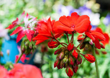 Red flora Stock Photography