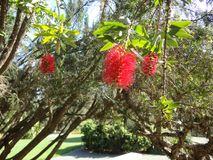 Red Flora. Hanging off a branch in a botanical garden Stock Photo