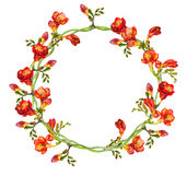 Red floral round wreath with hand painted  exotic flowers freesia. Floral line with vivid watercolor painted red freesia flowers Royalty Free Stock Photos
