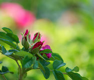 Red flovers of the bush stock photography