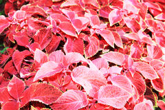 Red flovers Stock Images