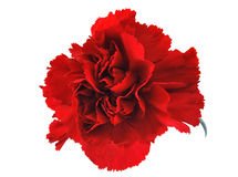 Red flowe carnation Royalty Free Stock Photo