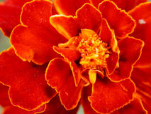 Free Red Flower Stock Photos - 603