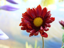 Red flower. On pastel background royalty free stock photography