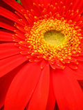 Red flower. A gerbera closeup stock image