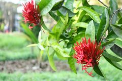 Red flower on green leafs. Background bluer color green and red royalty free stock image