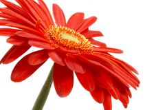 Red flower royalty free stock photography