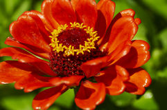 Free Red Flower Stock Photo - 1954230