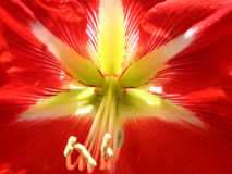 Red flower. This is an exotic red flower royalty free stock photos
