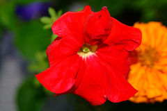 Red flower. Close-up Royalty Free Stock Image