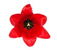 Red flower. Red tulip flower isolated on white Royalty Free Stock Image