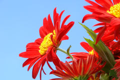Red Flower. Beutiful red flower with blue sky as background Stock Images