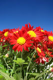 Red Flower. Beutiful red flower with blue sky as background Royalty Free Stock Image