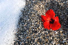Red flower. A red flower lies on stone which a wave washes Stock Image