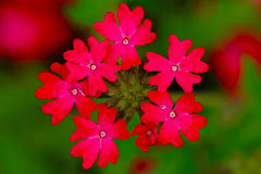 Red flower. Close-up with green background Stock Photos