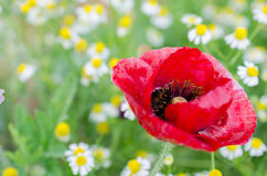 Red flower. In the garden Stock Photo