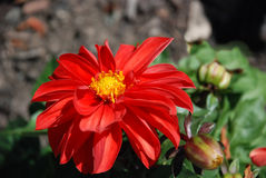 Red flower. Bright red flower with many pedals and a yellow center Royalty Free Stock Photo