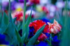 Red flower. Red wild tulips flowers in the garden (close up Royalty Free Stock Photo