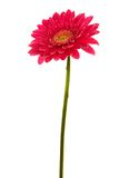 Red flower. Beautiful brightly red flower on a white background Royalty Free Stock Image