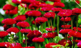Red flower. Spring red flower in meadow stock images