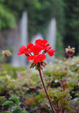 Red flower. Blooming red flower in front of fountain in butchart garden, victoria, canada Royalty Free Stock Image