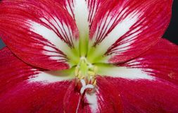 Red flower. Closeup with pounce Royalty Free Stock Photo