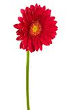 Red flower Royalty Free Stock Image