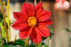 Red flower. Altay Royalty Free Stock Images