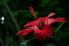 Red Flower. In Roatan Stock Image