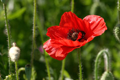 Red flower. In grass Stock Photos
