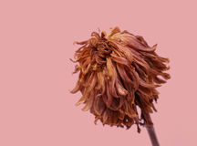Red Flower. A dying red flower against a pink background Royalty Free Stock Photo