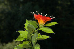 Red flower against dark green leaves. In the afternoon Royalty Free Stock Photography