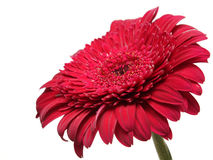 A red flower against the sky background Royalty Free Stock Image