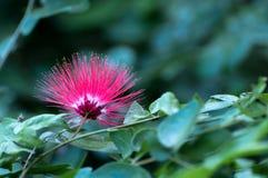 Red Flower of Albizia Julibrissin( Calliandra Haematocephala) Royalty Free Stock Image