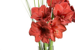 Red flower, amarilis on white Stock Photos
