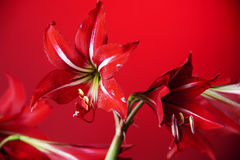 Red flower Amaryllis  Stock Image