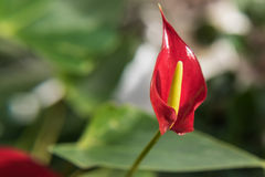 Red flower anthurium Stock Image