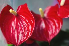 Red flower anthurium close-up. stock photo