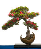 Red flower of a azalea bonsai tree Stock Photography