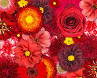 Red Flower Background Royalty Free Stock Photos