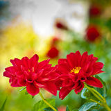 Red flower background. Autumn flower Royalty Free Stock Images