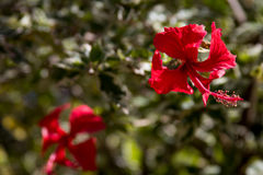Red flower background. Focus close Royalty Free Stock Photo